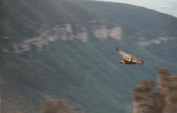 Griffon Vulture, Gorge du Tarn, France