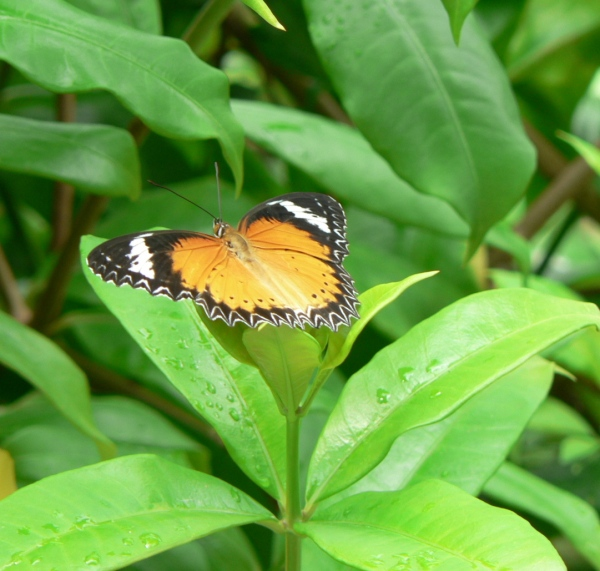 Butterfly, Ko Chang, Thailand
