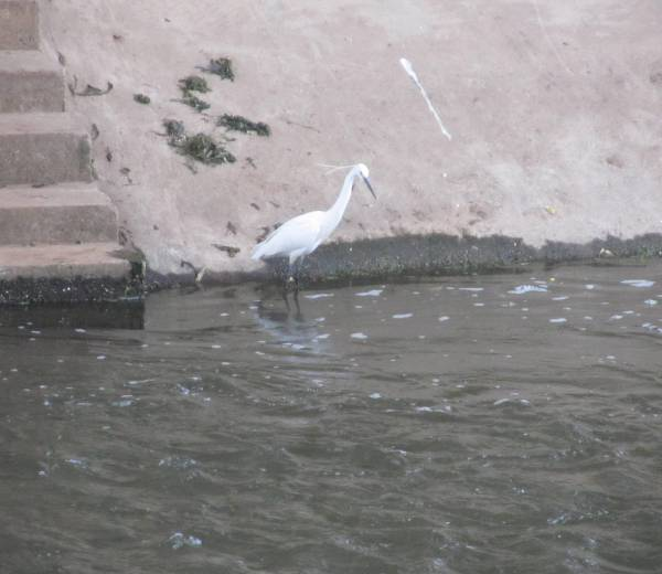 Ten years ago this river, I see every day  was like an open sewer - today Egrets fish there.