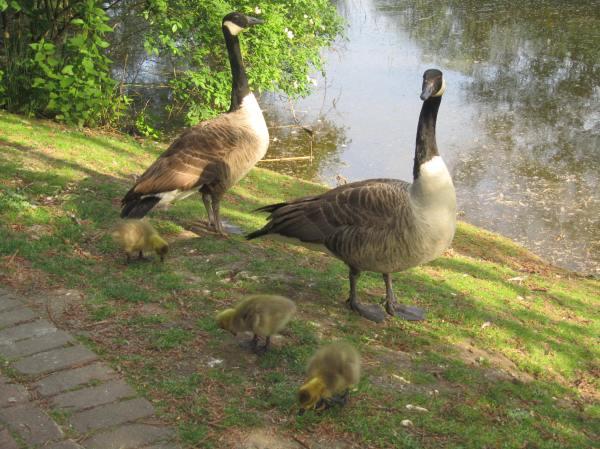 Canada Geese a few days older
