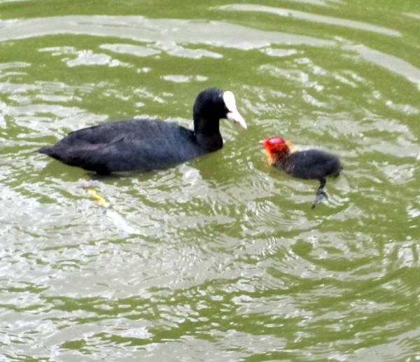 Day old coot chick