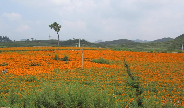 Marigold fields on the road to Puzhehei village, Yunnan Province, China, November 2011