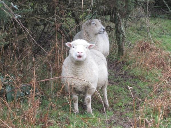 December sheep