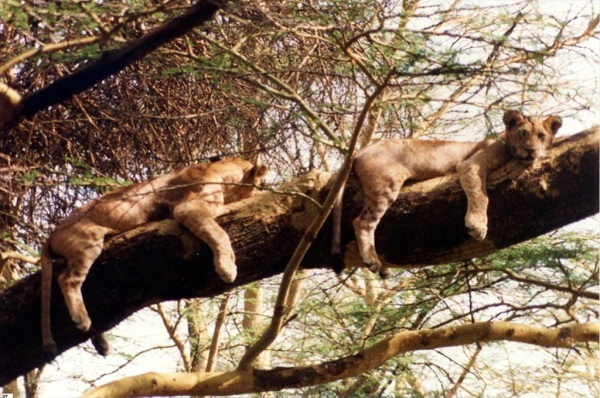 Lion cubs, Kenya 2008