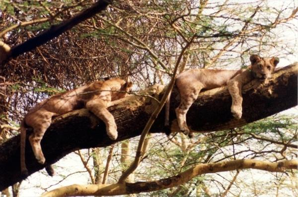 Lion cubs, Kenya 2008