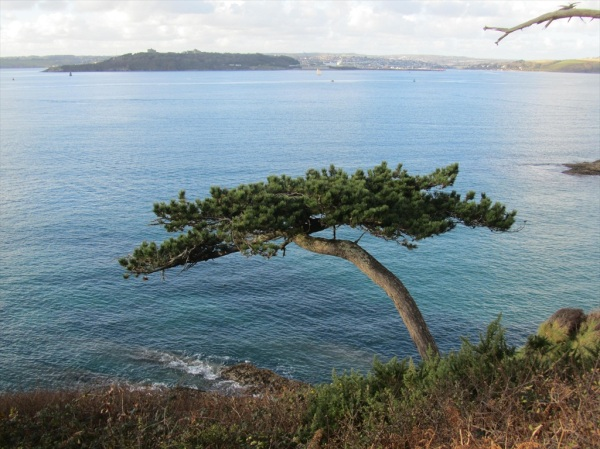Lone tree, St Anthony in Roseland, Cornwall, England