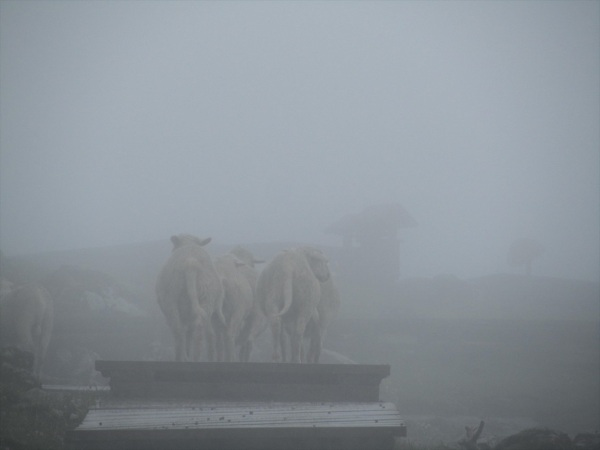 Sheep in the distance - a misty day on Jiaozi Mountain. Yunnan, China, July 2013