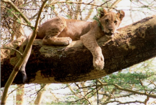 Lion in tree, Tanzania, 1998